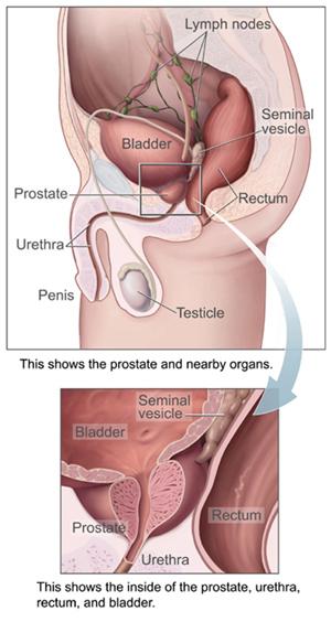 Lokasi prostat di bawah kandung kemih