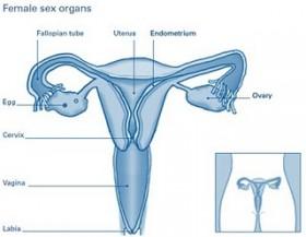 Anatomi organ seksual wanita