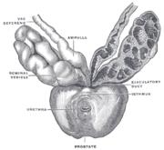 Gambar kantung Seminal Vesicle