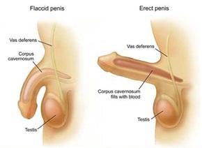 Proses terjadinya ereksi penis