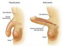 Proses ereksi penis