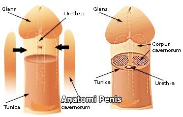 Anatomi mekanisme ereksi penis