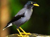 Khasiat burung jalak hitam
