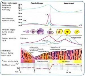 Grafik siklus menstruasi atau haid wanita