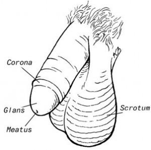 gambar penis
