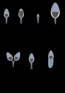Teratospermia