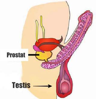 Lokasi kelenjar prostat